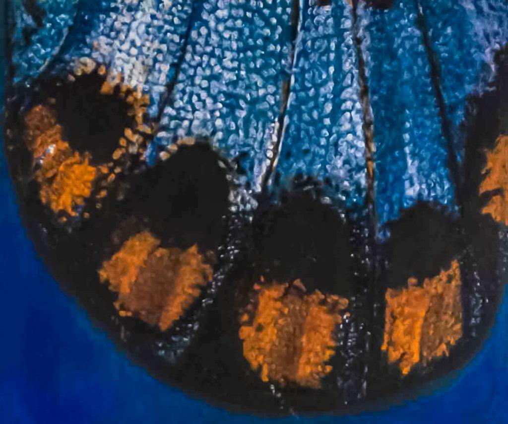 Acraeidae: Acraea ranavalona oil 25.5X21.5 inches