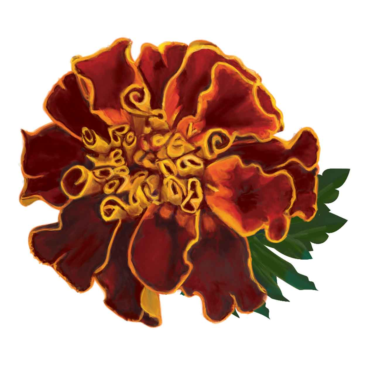 Orange and Saffron Aztec marigold