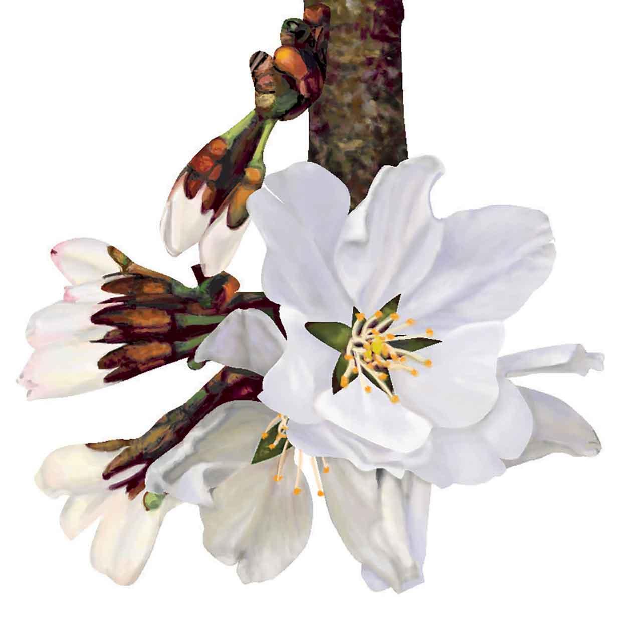 Sakura White Cherry Blossom